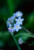 Dew rests on blue forget-me-not flowers in Alaska