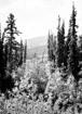 Summer pine trees in the center of Alaskan wilderness